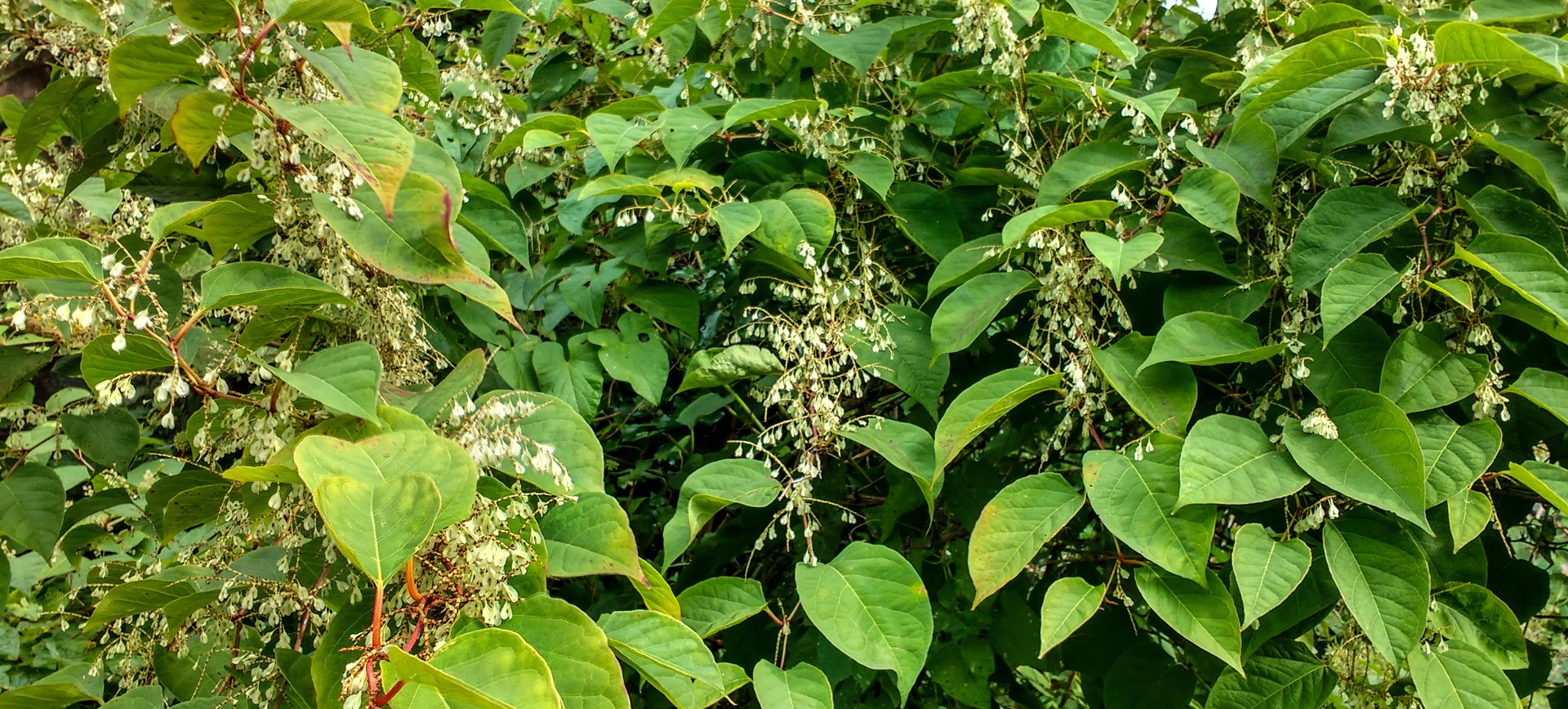 Zen Knotweed, Japanese Knotweed Removal, Cardiff, South Wales
