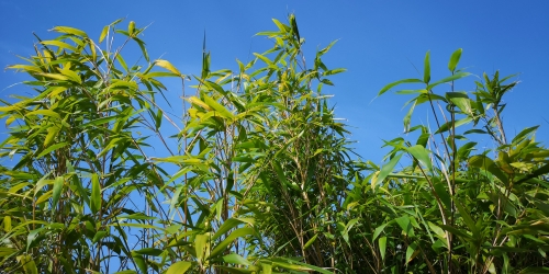 Bamboo - full growth
