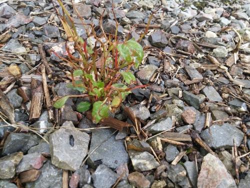 Bonsai growth - Spring