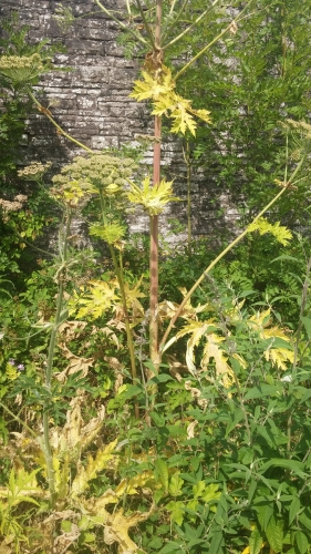Giant Hogweed - late summer