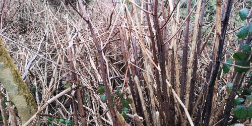 Dead canes - Winter