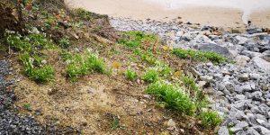 New growth on beach - Spring