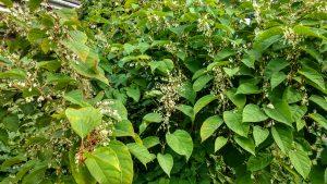 Flowering - Late Summer/Autumn