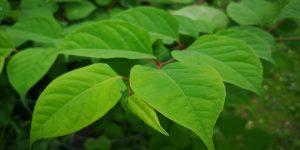 Distinctive leaves