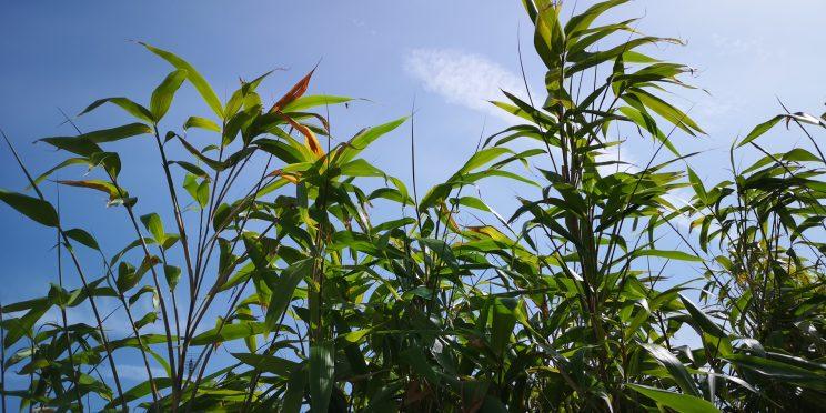Bamboo - full growth