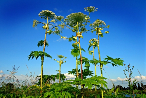 Giant Hogweed - Summer