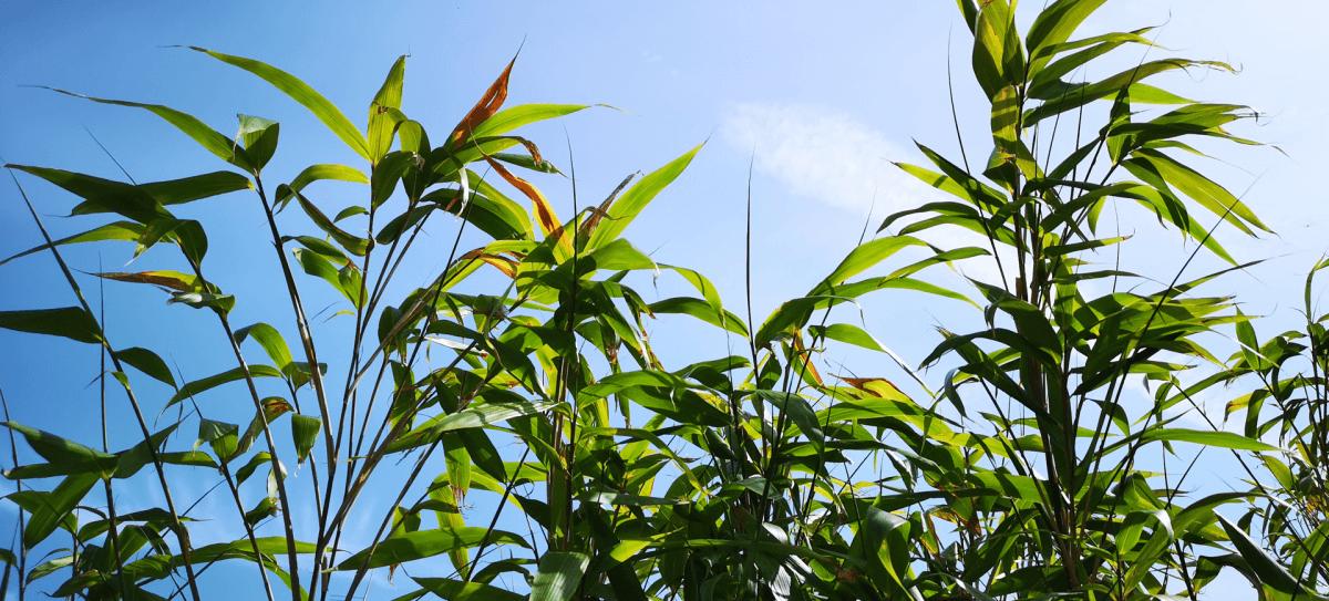towering bamboo
