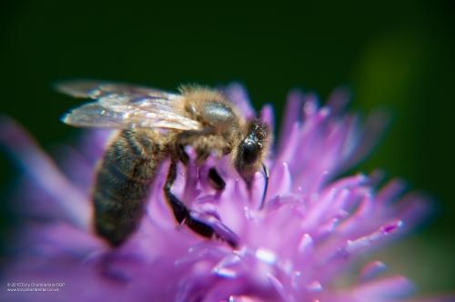 Wild Honey Bee
