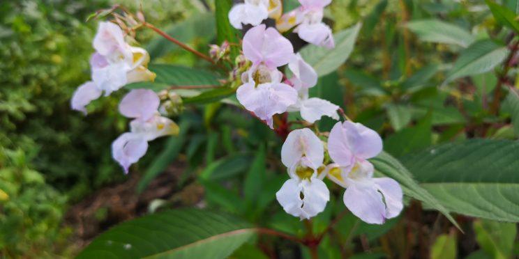 Creamy white/pink flowers