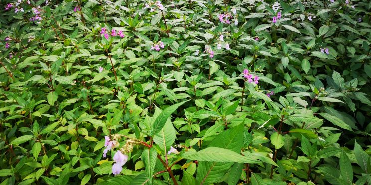 A sea of balsam in full growth