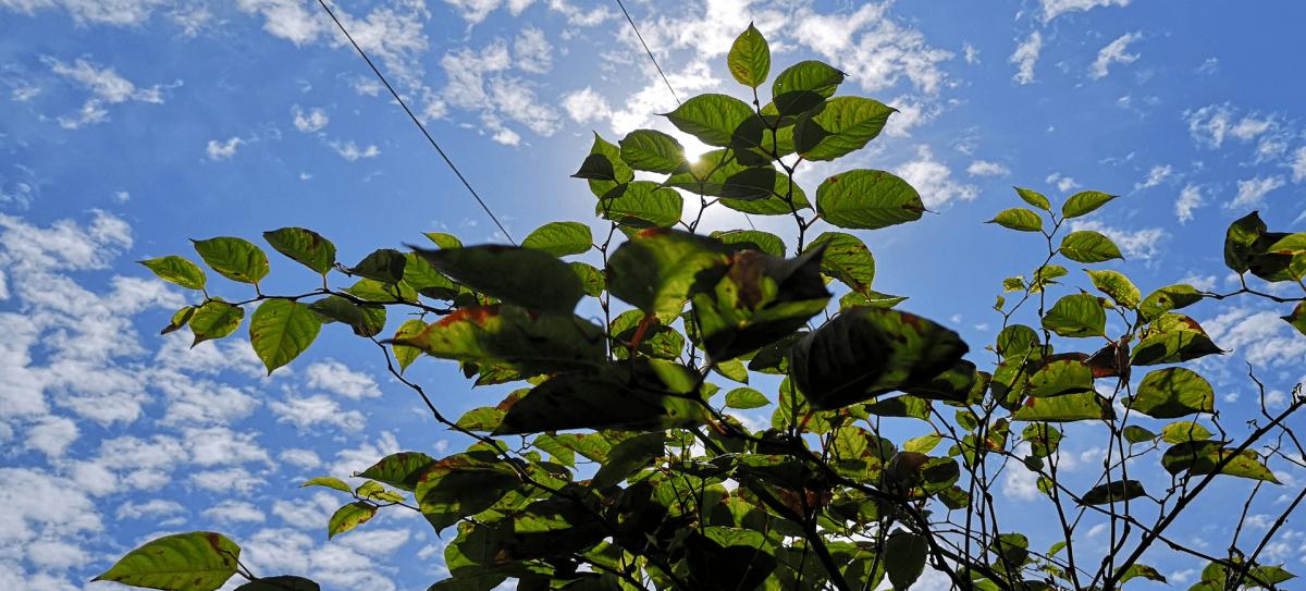 japanese knotweed against blue sky