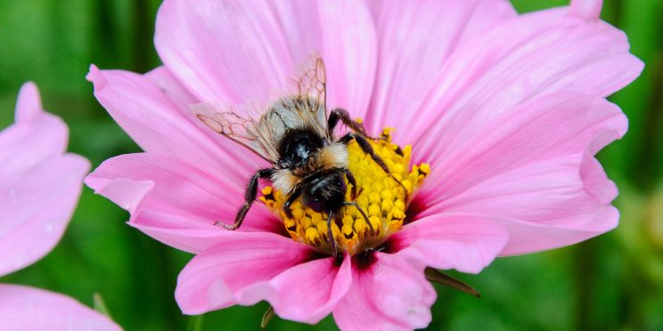 Bumble Bee drink on nectar