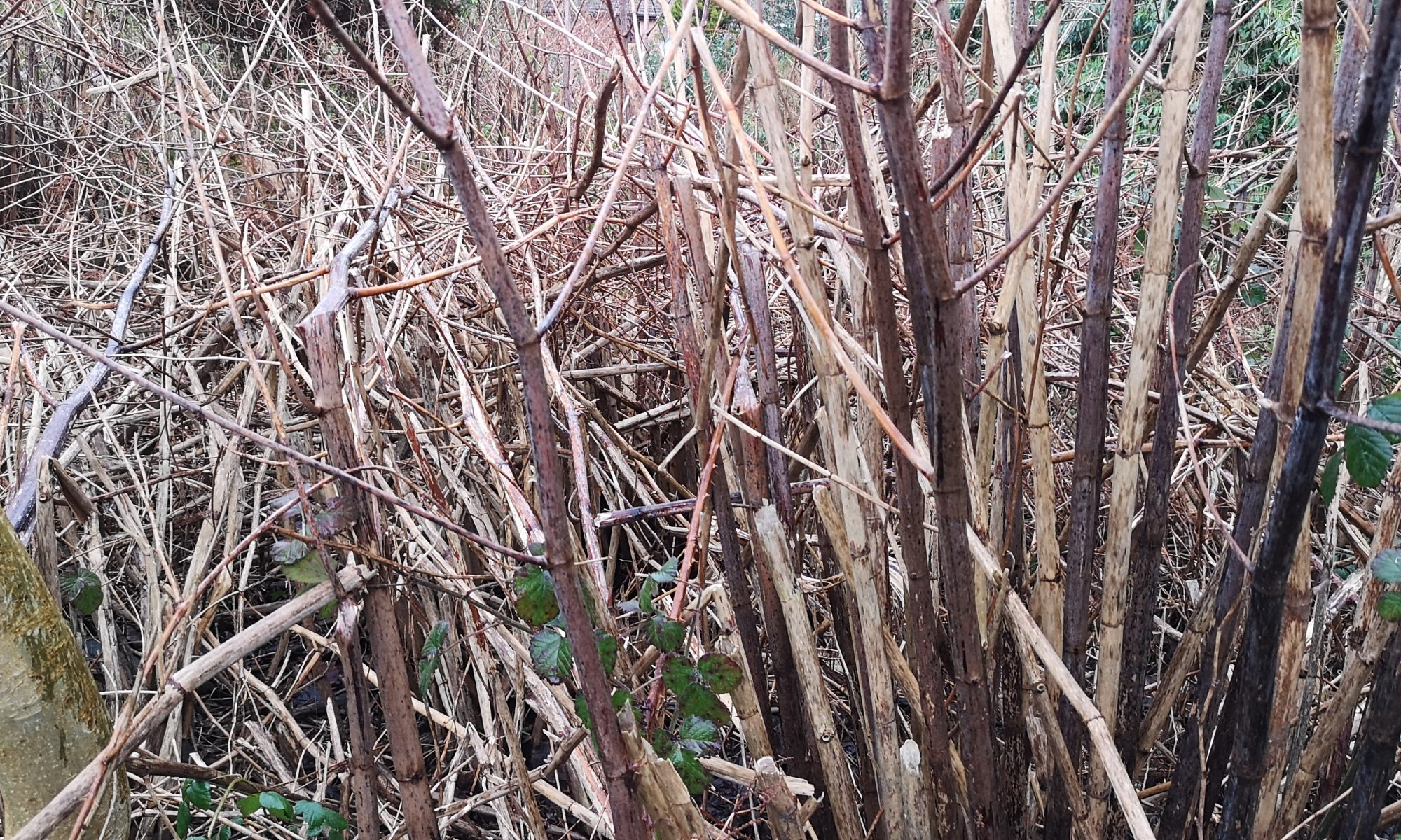 Zen Japanese Knotweed Removal Cardiff Wales